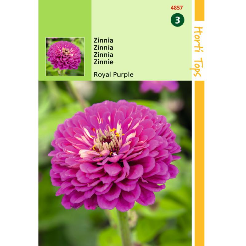 Zinnia Royal Purple  (semences)